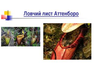 Ловчий лист Аттенборо