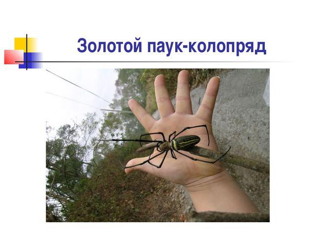Золотой паук-колопряд