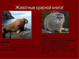 Животные красной книги! МОРЖИ Относятся к числу самых крупных ластоногих. Взр