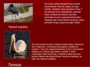 Эти птицы сейчас находятся под угрозой исчезновения. Пока не поздно, их надо