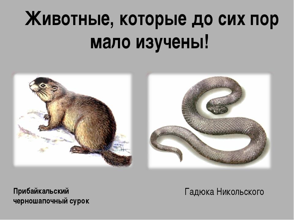 Животные, которые до сих пор мало изучены! Прибайкальский черношапочный сурок...
