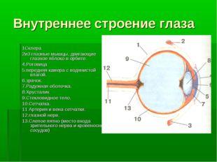 Внутреннее строение глаза 1Склера 2и3 глазные мышцы, двигающие глазное яблоко