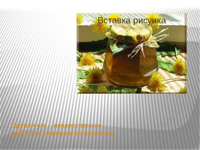 Одуванчик – лекарственное растение, невероятно полезное.