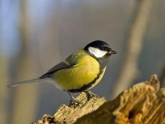 http://www.carolinabirds.org/Images4LG/Tit,_Great_SlawomirStaszczuk%20.jpg