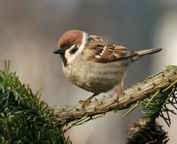 http://wildbirds.sk/photos/vrabec001b.jpg