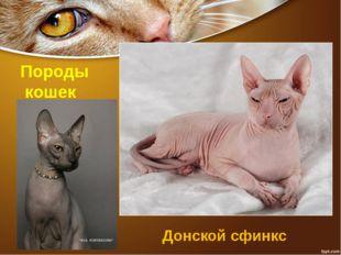 Породы кошек Донской сфинкс