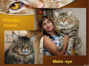 Породы кошек Мейн -кун