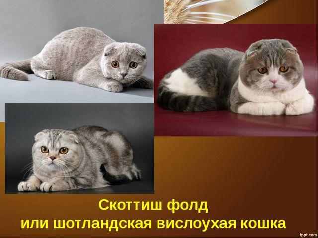 Скоттиш фолд или шотландская вислоухая кошка