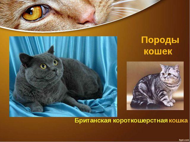 Породы кошек Британская короткошерстная кошка