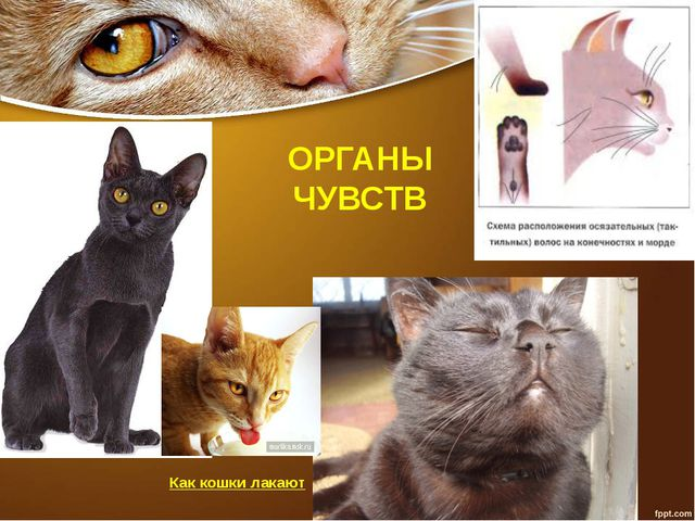 ОРГАНЫ ЧУВСТВ Как кошки лакают
