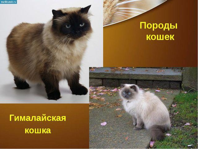 Породы кошек Гималайская кошка