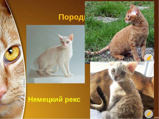 Породы кошек Немецкий рекс