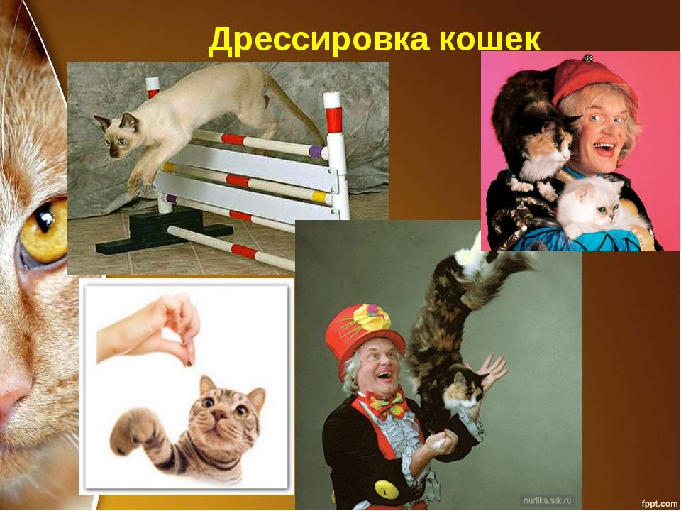 Дрессировка кошек