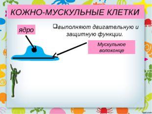 КОЖНО-МУСКУЛЬНЫЕ КЛЕТКИ Мускульное волоконце ядро выполняют двигательную и за