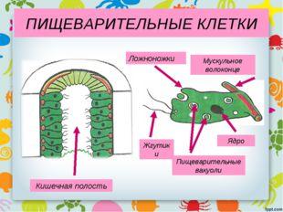 Кишечная полость Жгутики Ложноножки Пищеварительные вакуоли Мускульное волоко