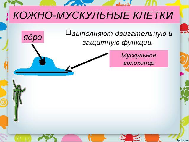 КОЖНО-МУСКУЛЬНЫЕ КЛЕТКИ Мускульное волоконце ядро выполняют двигательную и за...