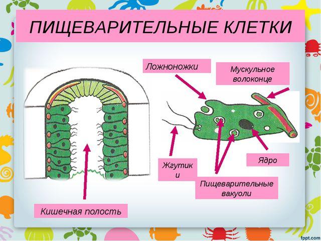 Кишечная полость Жгутики Ложноножки Пищеварительные вакуоли Мускульное волоко...