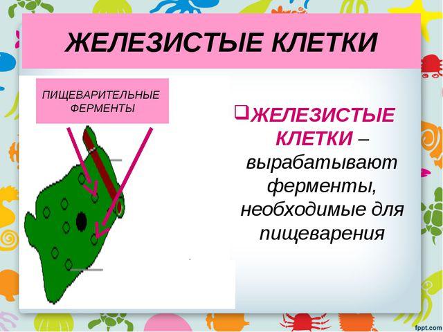 ЖЕЛЕЗИСТЫЕ КЛЕТКИ ЖЕЛЕЗИСТЫЕ КЛЕТКИ – вырабатывают ферменты, необходимые для...