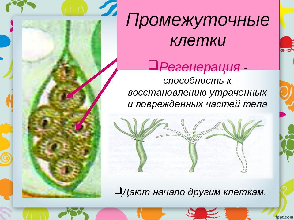 Промежуточные клетки Регенерация - способность к восстановлению утраченных и...