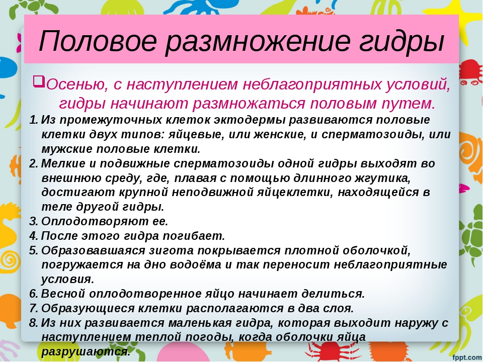 Половое размножение гидры Осенью, с наступлением неблагоприятных условий, гид...