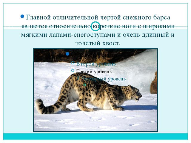 Главной отличительной чертой снежного барса является относительно короткие н...