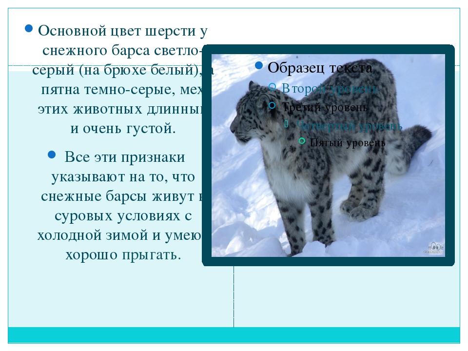 Основной цвет шерсти у снежного барса светло-серый (на брюхе белый), а пятна...
