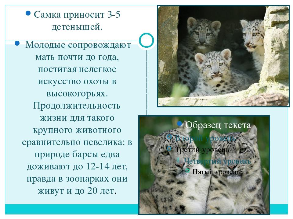 Самка приносит 3-5 детенышей. Молодые сопровождают мать почти до года, пости...