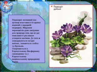 Первоцвіт весняний має цілющі властивості й здавна відомий у народній медицин