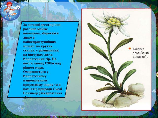 За останні десятиріччя рослина майже винищена, збереглася лише в найнеприступ...