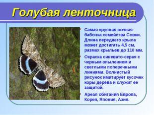 Голубая ленточница Самая крупная ночная бабочка семейства Совки. Длина перед