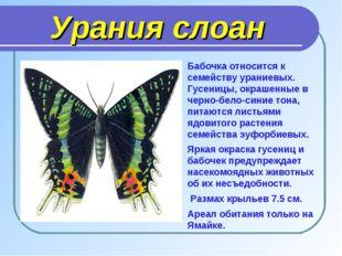 Урания слоан Бабочка относится к семейству ураниевых. Гусеницы, окрашенные в