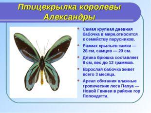 Птицекрылка королевы Александры Самая крупная дневная бабочка в мире,относитс