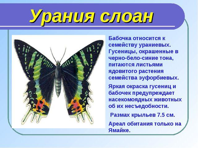 Урания слоан Бабочка относится к семейству ураниевых. Гусеницы, окрашенные в...