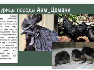Курицы породы Аям_Цемани Курицы породы Аям_Цемани необычны тем, что у них чер