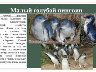 Малый голубой пингвин Малый голубой пингвин является самым маленьким из ныне