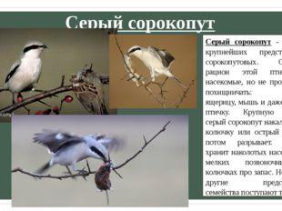 Серый сорокопут Серый сорокопут - один из крупнейших представителей сорокопут