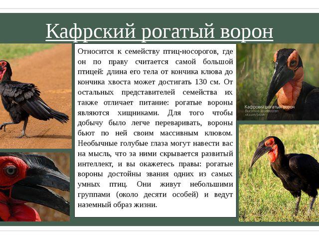 Кафрский рогатый ворон Относится к семейству птиц-носорогов, где он по праву...