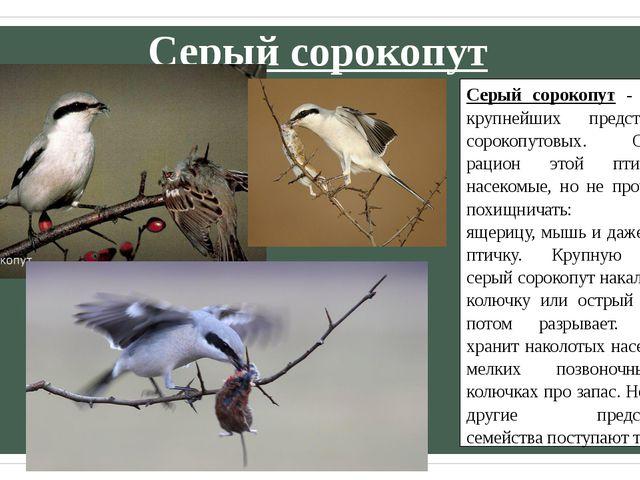 Серый сорокопут Серый сорокопут - один из крупнейших представителей сорокопут...