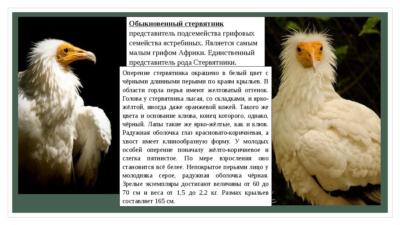 Обыкновенный стервятник представитель подсемейства грифовых семейства ястреби...