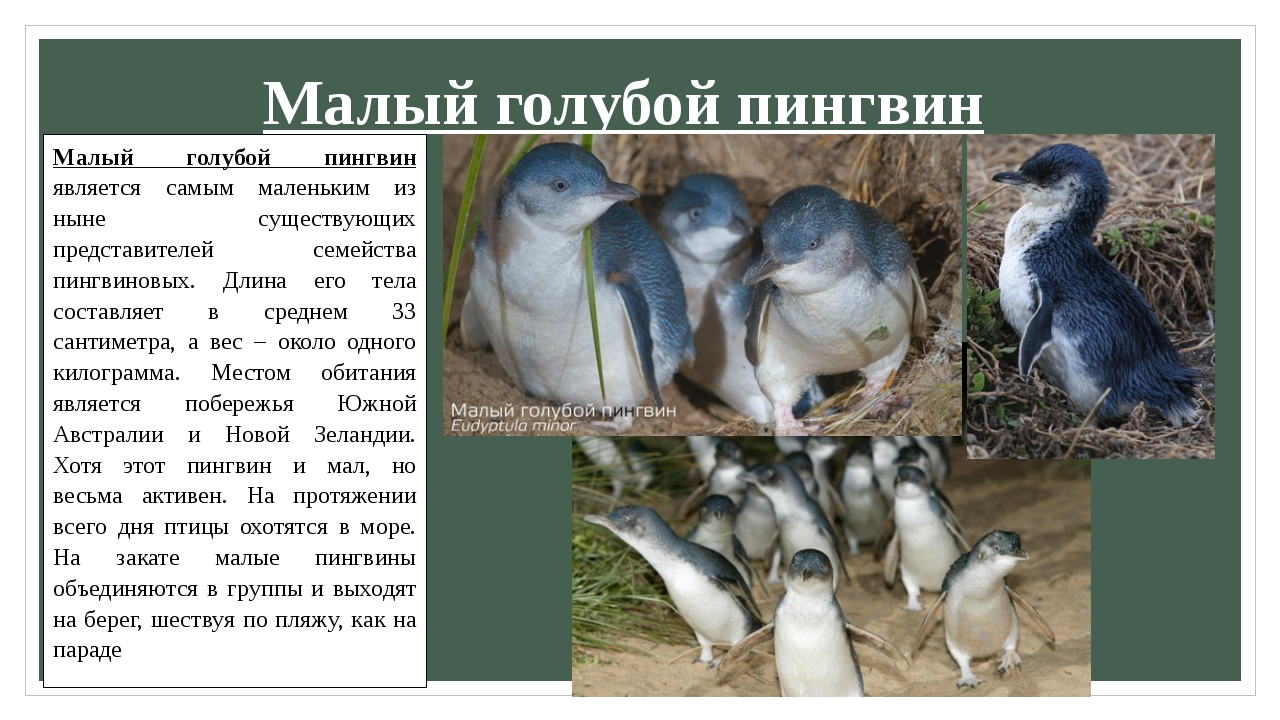 Малый голубой пингвин Малый голубой пингвин является самым маленьким из ныне...