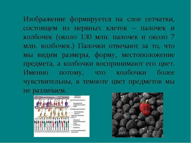 Изображение формируется на слое сетчатки, состоящем из нервных клеток – пало...
