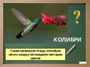 КОЛИБРИ Самая маленькая птица, способная летать назад и питающаяся нектаром ц