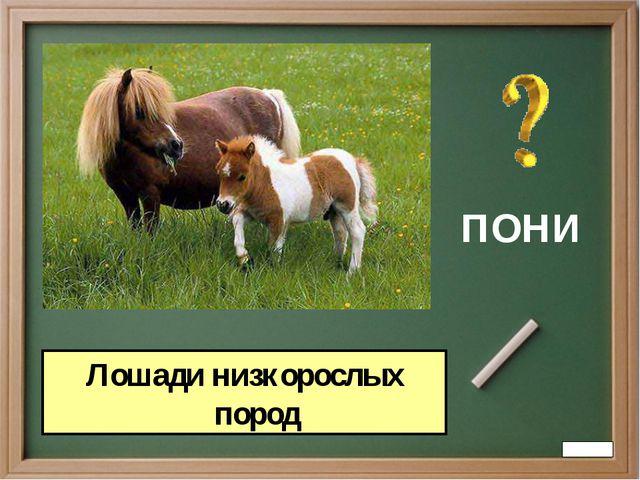 ПОНИ Лошади низкорослых пород
