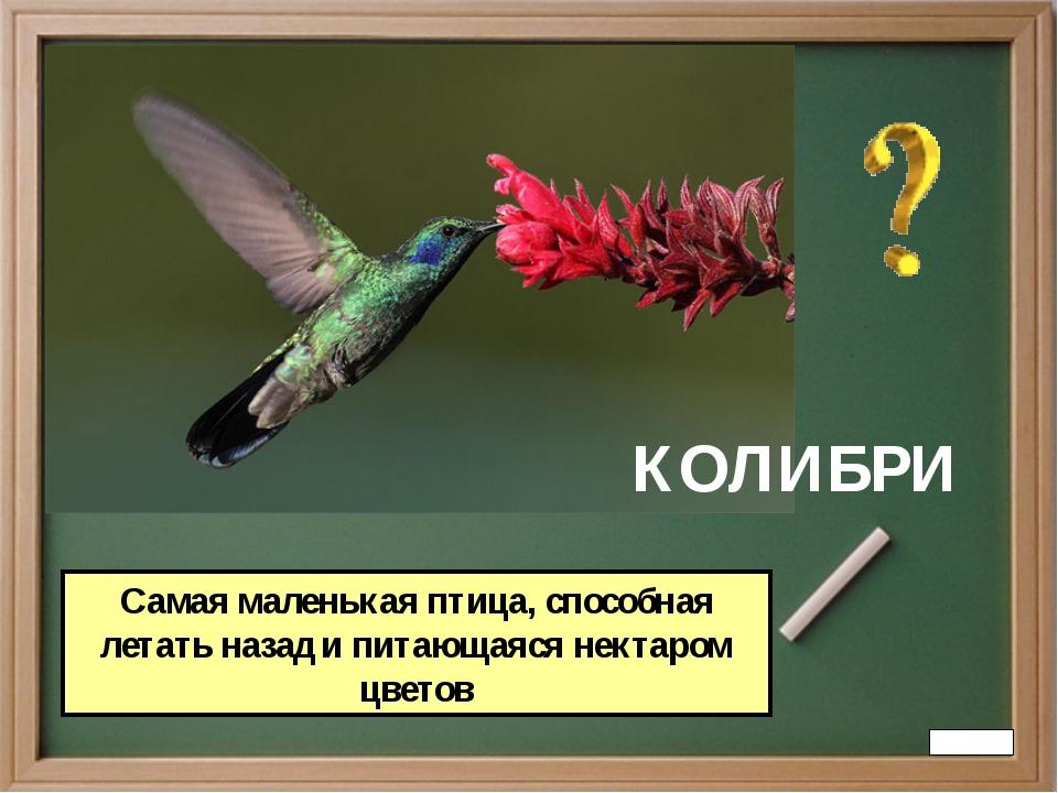 КОЛИБРИ Самая маленькая птица, способная летать назад и питающаяся нектаром ц...