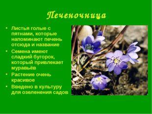 Печеночница Листья голые с пятнами, которые напоминают печень отсюда и назван