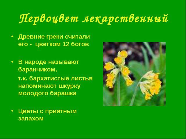 Первоцвет лекарственный Древние греки считали его - цветком 12 богов В народе...