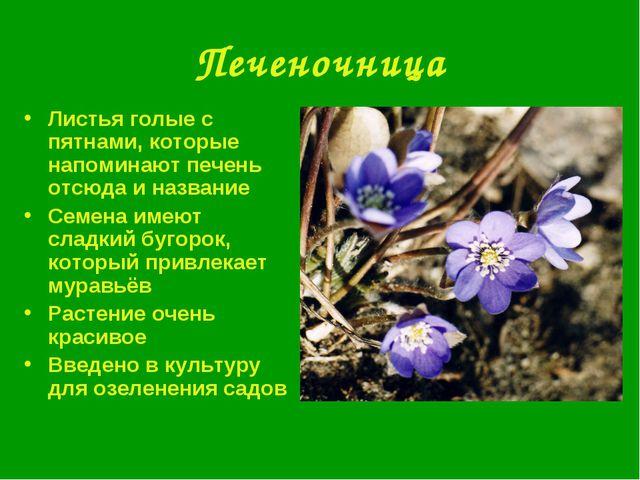 Печеночница Листья голые с пятнами, которые напоминают печень отсюда и назван...