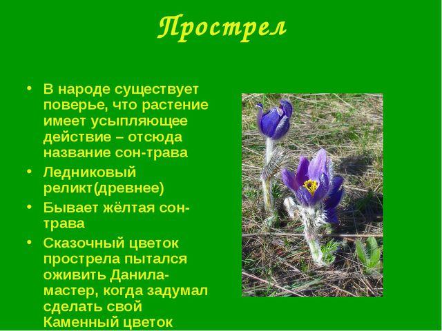 Прострел В народе существует поверье, что растение имеет усыпляющее действие...