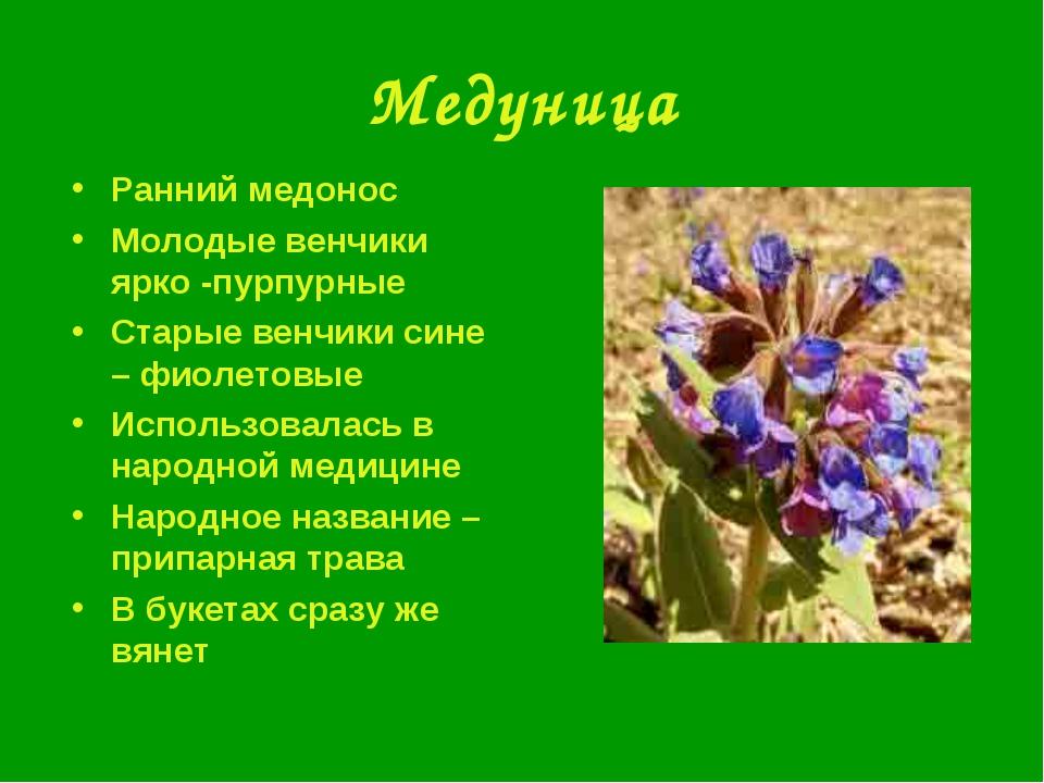 Медуница Ранний медонос Молодые венчики ярко -пурпурные Старые венчики сине –...