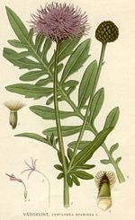 https://upload.wikimedia.org/wikipedia/commons/thumb/f/f2/Centaurea_scabiosa.jpg/150px-Centaurea_scabiosa.jpg